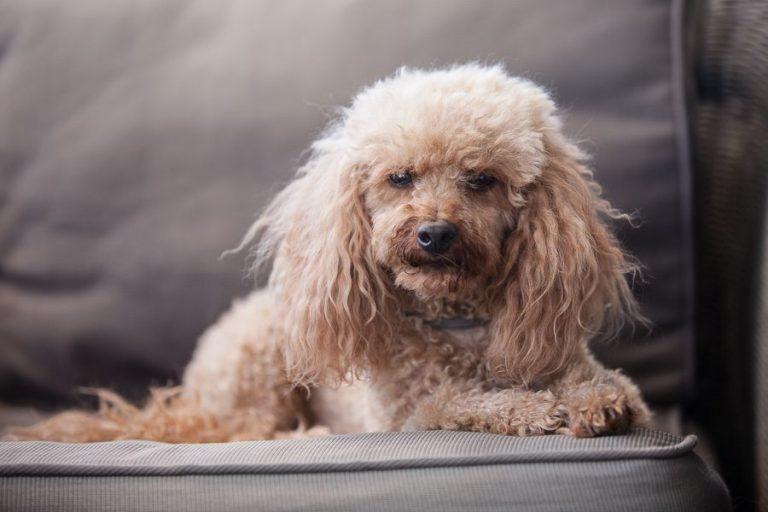 Pudel im Hundeverhaltenszentrum